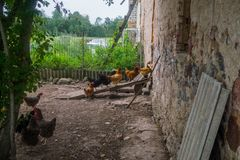 Ζήστε σπιτικά κοτόπουλα στο κατώφλι στο χωριό στοκ εικόνες