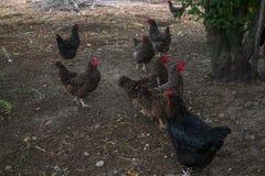 Ζήστε σπιτικά κοτόπουλα στο κατώφλι στο χωριό στοκ φωτογραφία
