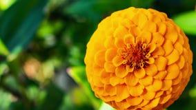 Ζουμ μέσα σε ένα κίτρινο πορτοκαλί λουλούδι φιλμ μικρού μήκους