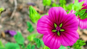 Ζουμ μέσα σε ένα ρόδινο πράσινο λουλούδι απόθεμα βίντεο