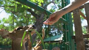 Ζωολογικός κήπος deers σίτισης γυναικών σε επαφή απόθεμα βίντεο