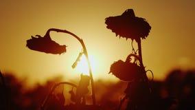 Ηλίανθος σκιαγραφιών που ταλαντεύεται στο αεράκι στο ηλιοβασίλεμα συγκομιδή έτοιμη απόθεμα βίντεο