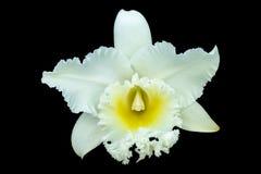 Η άσπρη ορχιδέα Cattleya έχει την πορεία ψαλιδίσματος στοκ εικόνα