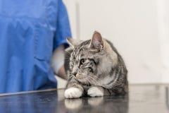 Η γάτα στην κτηνιατρική πρακτική εξετάζεται από τον κτηνίατρο στοκ εικόνες