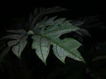 η γοητεία ενός papaya φύλλου με τη δροσιά πρωινού που κολλά ακόμα στο σκοτεινό πρωί στοκ φωτογραφία με δικαίωμα ελεύθερης χρήσης