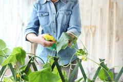 Η γυναίκα στο φυτικό κήπο ψεκάζει το φυτοφάρμακο στο φύλλο του φυτού με την κάμπια, προσοχή των φυτών για την αύξηση στοκ εικόνες