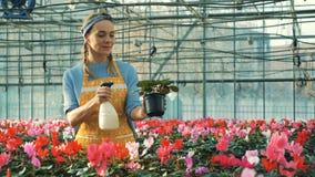 Η γυναίκα ποτίζει cyclamens τις εγκαταστάσεις σε ένα θερμοκήπιο, βιομηχανία λουλουδιών Θερμοκήπιο βρεφικών σταθμών λουλουδιών απόθεμα βίντεο