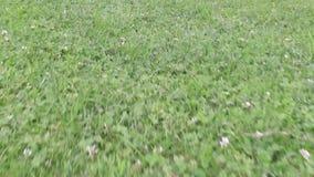 Η εναέρια άποψη της πράσινης χλόης από τη τοπ άποψη, με τον αέρα που ρέει, μικρός χαμηλός χορτοτάπητας, τελειοποιεί για την ψηφια απόθεμα βίντεο