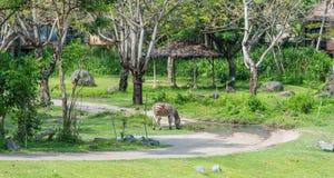 Η ζέβρα σίτιση στο σαφάρι του Μπαλί & το θαλάσσιο πάρκο στοκ εικόνες με δικαίωμα ελεύθερης χρήσης