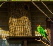Η ζωηρόχρωμη κερασφόρος συνεδρίαση parakeet στο σπίτι πουλιών της, παπαγάλος από τη Νέα Καληδονία, απείλησε specie πουλιών με την στοκ εικόνες