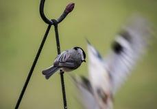 Η Καρολίνα Chickadee προσέχει το πουλί παρουσιάζει στοκ φωτογραφία με δικαίωμα ελεύθερης χρήσης