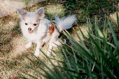 Η κινηματογράφηση σε πρώτο πλάνο χαριτωμένη λίγο σκυλί chihuahua χαμόγελου στον κήπο στη χλόη κάτω από το φοίνικα στηρίζεται στην στοκ φωτογραφία με δικαίωμα ελεύθερης χρήσης