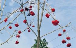 Η κόκκινη σορβιά αυξάνεται σε ένα δέντρο στοκ εικόνα