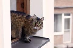 Η μακρυμάλλης σιβηρική γάτα του tebby χρώματος κοιτάζει έξω από το παράθυρο στο επάνω πάτωμα του σπιτιού, μεγάλος, γούνινος και υ στοκ φωτογραφία με δικαίωμα ελεύθερης χρήσης