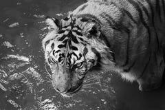 Η τίγρη ενυδατώνει στη λίμνη για να καταψύξει το σώμα κάτω στοκ φωτογραφίες