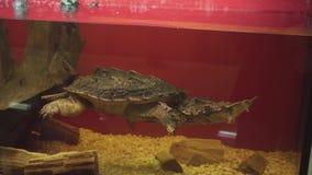 Η τρομερό mata mata χελώνα ή το fimbriata chelus κολυμπά υποβρύχιο φιλμ μικρού μήκους