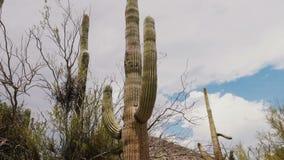 Η χαμηλή κάμερα γωνίας κινείται δεξιά κάτω από το μεγάλο ψηλό κάκτο Saguaro μια καυτή ηλιόλουστη ημέρα στο εθνικό πάρκο ερήμων τη απόθεμα βίντεο