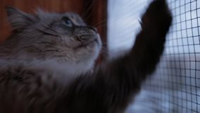Η χαριτωμένη γάτα μεταμφιέσεων Neva που κοιτάζει από το γρατσουνίζοντας γυαλί παραθύρων με το είναι σπίτι ποδιών στο εσωτερικό το φιλμ μικρού μήκους
