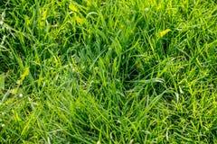 Η χλόη αναπτύσσει Πράσινη χλόη φρέσκια πράσινη υγιής άνοιξη χλόης στοκ φωτογραφίες