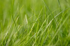 Η χλόη αναπτύσσει Πράσινη χλόη φρέσκια πράσινη υγιής άνοιξη χλόης στοκ φωτογραφία με δικαίωμα ελεύθερης χρήσης