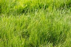 Η χλόη αναπτύσσει Πράσινη χλόη φρέσκια πράσινη υγιής άνοιξη χλόης στοκ εικόνες