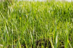 Η χλόη αναπτύσσει Πράσινη χλόη φρέσκια πράσινη υγιής άνοιξη χλόης στοκ φωτογραφίες με δικαίωμα ελεύθερης χρήσης