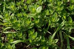 Η χλόη αναπτύσσει Πράσινη χλόη φρέσκια πράσινη υγιής άνοιξη χλόης στοκ εικόνα
