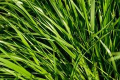 Η χλόη αναπτύσσει Πράσινη χλόη φρέσκια πράσινη υγιής άνοιξη χλόης στοκ φωτογραφία