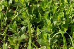 Η χλόη αναπτύσσει Πράσινη χλόη φρέσκια πράσινη υγιής άνοιξη χλόης στοκ εικόνα με δικαίωμα ελεύθερης χρήσης