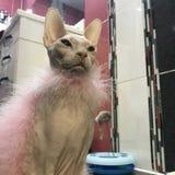 Η υπερήφανη γάτα Sphinx εξετάζει την απόσταση, που τυλίγεται σε ένα μαντίλι στοκ εικόνα