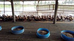 Η πάπια στο αγρόκτημα, τρώει και κολυμπώντας στο έλος, 4K υπερβολικό HD Ομάδα παπιών στο αγρόκτημα, παραδοσιακή καλλιέργεια στην  απόθεμα βίντεο