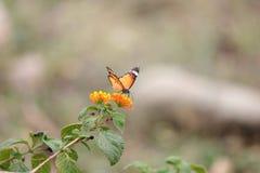 Η πεταλούδα σε ένα λουλούδι με πράσινο βγάζει φύλλα στοκ εικόνες