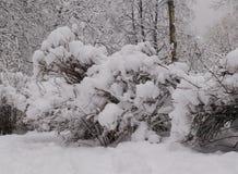Θάμνοι που καλύπτονται με τον αφρό χιονιού στοκ εικόνες