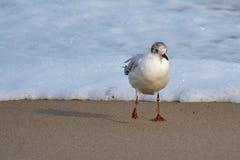 Θαλασσοπούλι που περπατά στην παραλία στοκ φωτογραφία
