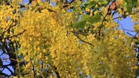 θαμνώδης Χρυσό άνθος ντους στοκ φωτογραφία