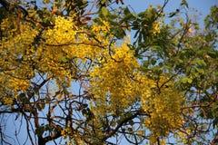 θαμνώδης Χρυσό ντους με τα πράσινους φύλλα και το μπλε ουρανό στοκ εικόνα με δικαίωμα ελεύθερης χρήσης