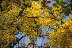 θαμνώδης Χρυσό ντους με τα πράσινους φύλλα και το μπλε ουρανό στοκ φωτογραφία με δικαίωμα ελεύθερης χρήσης