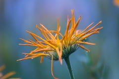 Θερινό λουλούδι στις σταγόνες βροχής στοκ εικόνα με δικαίωμα ελεύθερης χρήσης