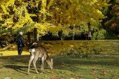 Ιαπωνικά ελάφια που παίζουν στο πάρκο του Νάρα στοκ εικόνες
