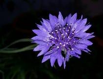 Ινδικό Hill segetum Cyanus στην κηπουρική δοχείων στοκ φωτογραφίες με δικαίωμα ελεύθερης χρήσης