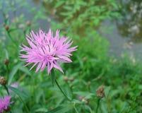 Ιώδες σιβηρικό cornflower λουλουδιών στο macrophoto στοκ εικόνα με δικαίωμα ελεύθερης χρήσης