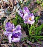 Ιώδη λουλούδια σαφρανιού στο δάσος στοκ εικόνα