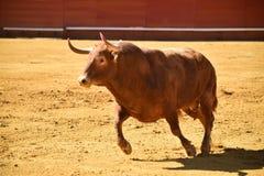 Ισχυρός ταύρος στην αρένα ταυρομαχίας με τα μεγάλα κέρατα στοκ εικόνες με δικαίωμα ελεύθερης χρήσης