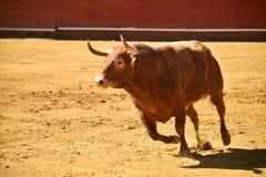 Ισχυρός ταύρος στην αρένα ταυρομαχίας με τα μεγάλα κέρατα στοκ εικόνα