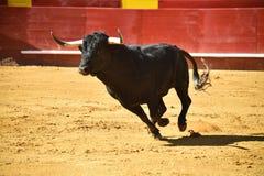 Ισχυρός ταύρος στην αρένα ταυρομαχίας με τα μεγάλα κέρατα στοκ φωτογραφίες