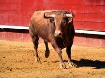 Ισχυρός ταύρος στην αρένα ταυρομαχίας με τα μεγάλα κέρατα στοκ εικόνα με δικαίωμα ελεύθερης χρήσης
