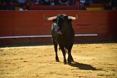 Ισχυρός ταύρος στην αρένα ταυρομαχίας με τα μεγάλα κέρατα στοκ φωτογραφία με δικαίωμα ελεύθερης χρήσης