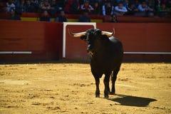 Ισχυρός ταύρος στην αρένα ταυρομαχίας με τα μεγάλα κέρατα στοκ εικόνες