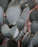 Κάκτος τραχιών αχλαδιών, Succulent υπόβαθρο εγκαταστάσεων στοκ εικόνες