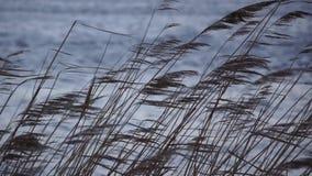 Κάλαμος παράλληλα με τη λίμνη ή τον ποταμό απόθεμα βίντεο